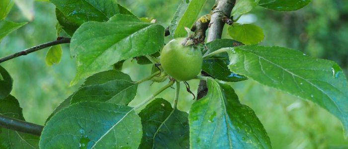 La pomme du jour!