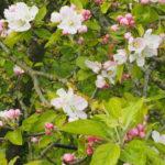 Fleurs de Judaine